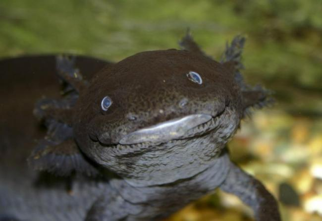 axolotl5.jpg