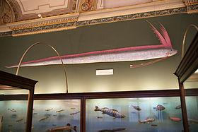 280px-Regalecus_glesne,_Naturhistorisches_Museum_Wien_(in_context).jpg