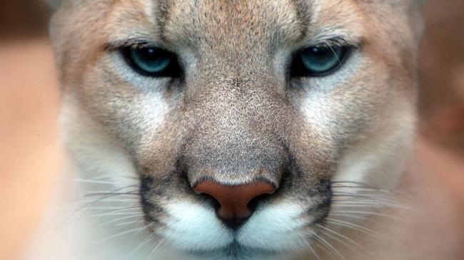 cat-animals-nature-lion-wildlife-nose-whiskers-Puma-feline-cheetah-cougar-pumas-eye-fauna-mammal-vertebrate-close-up-cat-like-mammal-snout-small-to-medium-sized-cats-carnivoran-231213.jpg