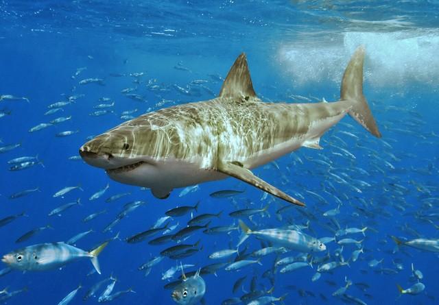 White_shark.jpg