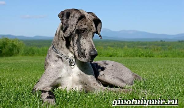 datskij-dog-opisanie-osobennosti-uxod-i-cena-datskogo-doga-1.jpg