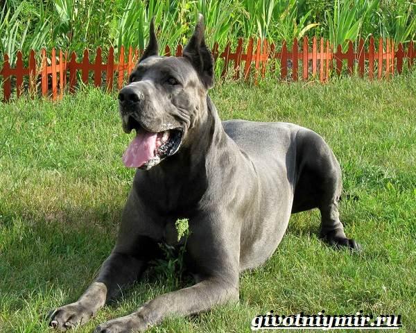 datskij-dog-opisanie-osobennosti-uxod-i-cena-datskogo-doga-2.jpg