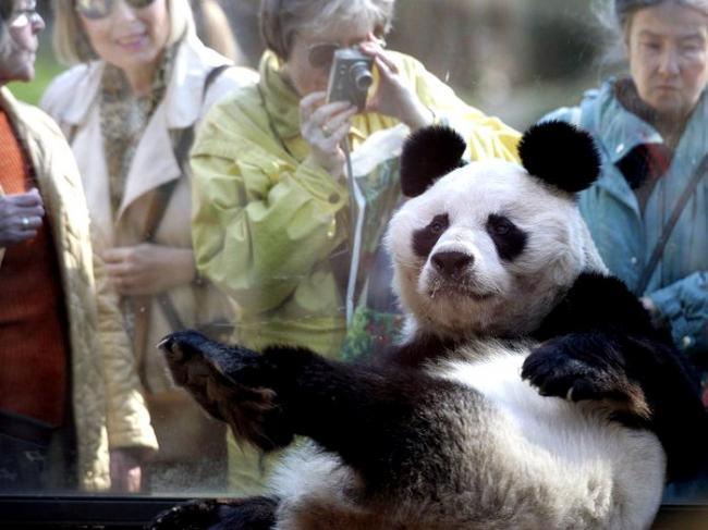 panda-v-berlinskom-zooparke-5a4f9f2bd0059.jpg