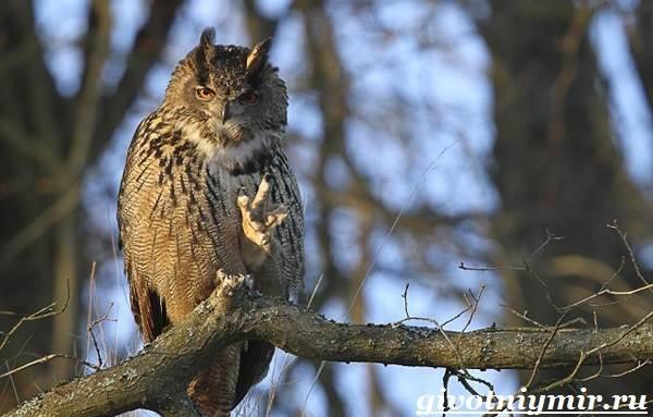 sova-ptica-obraz-zhizni-i-sreda-obitaniya-sovy-4.jpg