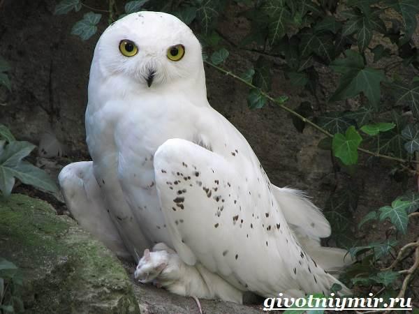 sova-ptica-obraz-zhizni-i-sreda-obitaniya-sovy-7.jpg