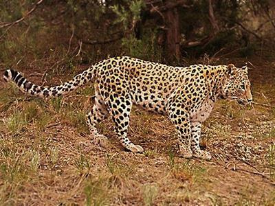 peredneaziatskiy-leopard.jpg