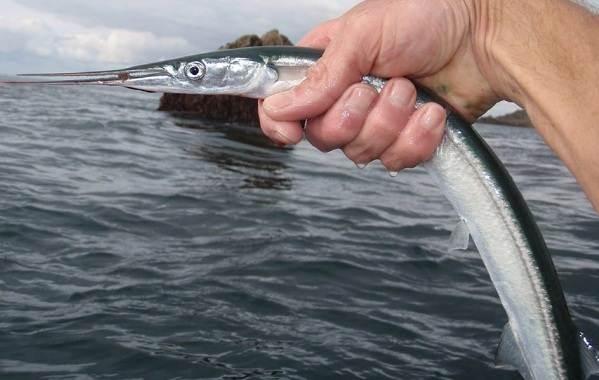 sargan-ryba-opisanie-osobennosti-vidy-obraz-zhizni-i-sreda-obitaniya-ryby-sargan-6.jpg