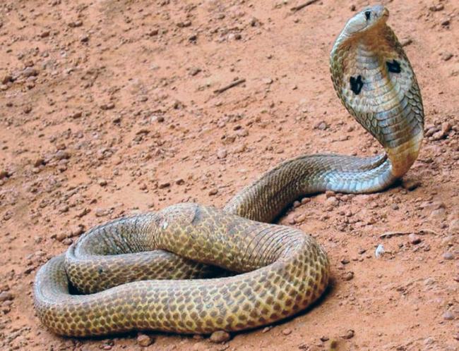 kobra-indiyskaya-foto.jpg