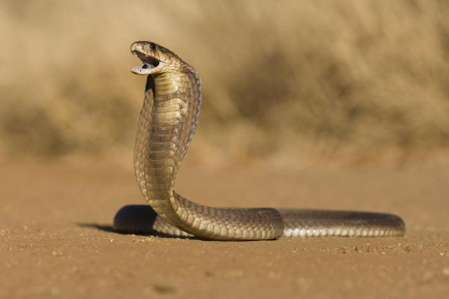 1200-8339-cobra-snake-photo1.jpg