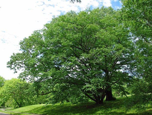betula_schmidtii_tree.jpg