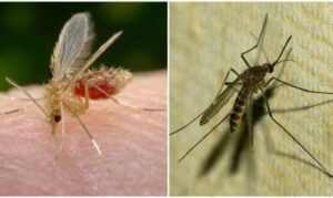 otlichie-komarov-ot-moskitov1-e1612883438285-300x179.jpg