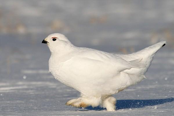 belaja-kuropatka-zimoj.jpg