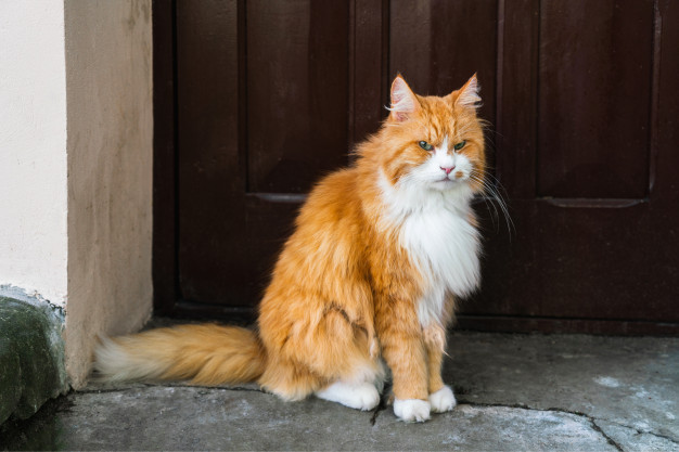 gloomy-red-cat-sits-by-door-looks-into-camera_74947-632.jpg