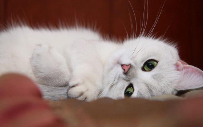 white-cat-700x438.jpg