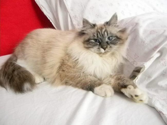 nevskaya-mascaradnaya-cat-700x525.jpg