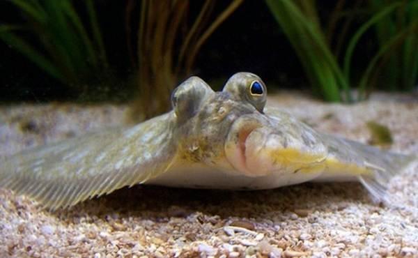 kambala-ryba-opisanie-osobennosti-vidy-obraz-zhizni-i-sreda-obitaniya-kambaly-3.jpg