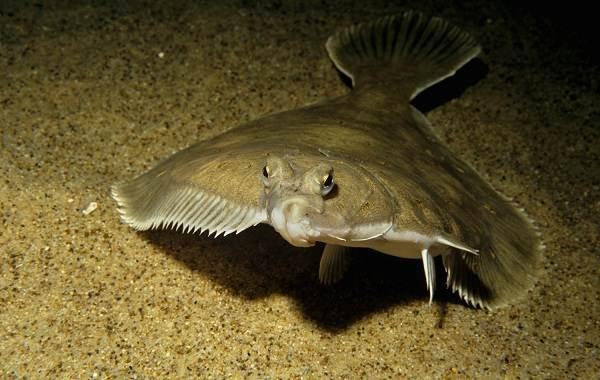 kambala-ryba-opisanie-osobennosti-vidy-obraz-zhizni-i-sreda-obitaniya-kambaly-4.jpg