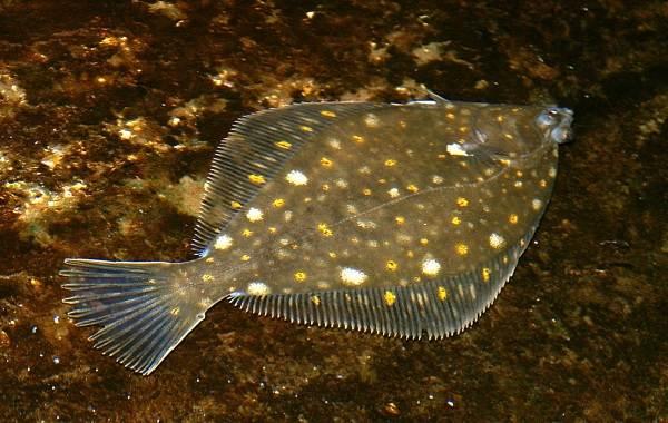 kambala-ryba-opisanie-osobennosti-vidy-obraz-zhizni-i-sreda-obitaniya-kambaly-6.jpg
