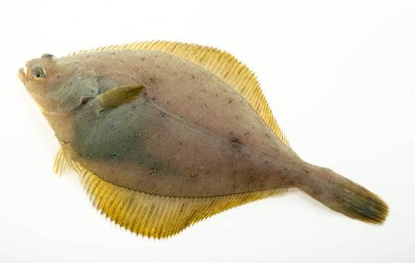kambala-ryba-opisanie-osobennosti-vidy-obraz-zhizni-i-sreda-obitaniya-kambaly-8.jpg