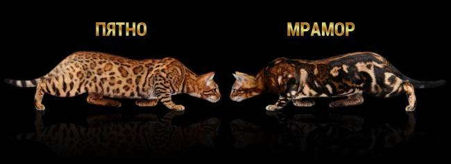 spotted-vs-marbled-bengal-cat-coat.jpg