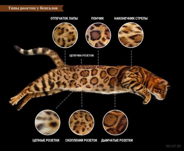 bengal-cat-coat-rosette-types.jpg