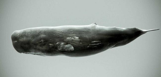 sperm_whale_by.jpg
