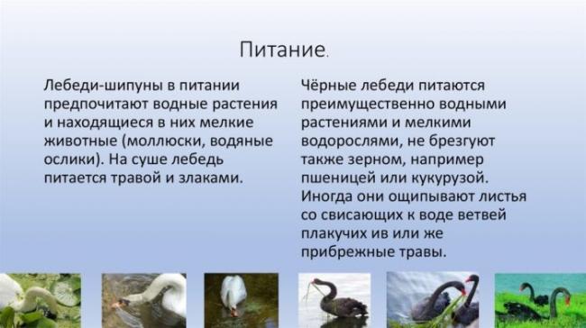pitanie-lebedey-shipunov-700x392.jpg