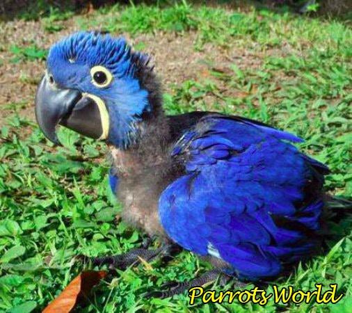 hyacinth-macaw-baby.jpg