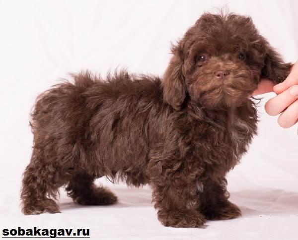 russkaya-bolonka-sobaka-opisanie-osobennosti-uxod-i-cena-russkoj-bolonki-8.jpg