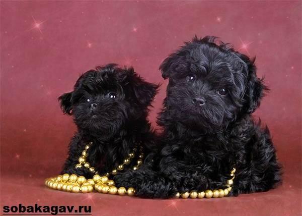 russkaya-bolonka-sobaka-opisanie-osobennosti-uxod-i-cena-russkoj-bolonki-7.jpg