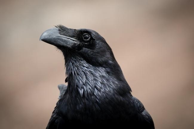 Внешний вид ворона