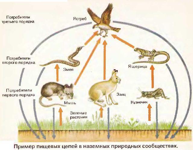 biologiya-44051-primer-pischevoy-cepochki.jpg