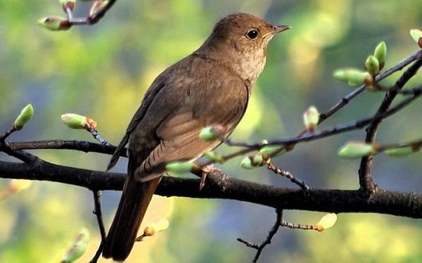 solovej-ptica-obraz-zhizni-i-sreda-obitaniya-solovya-8.jpg