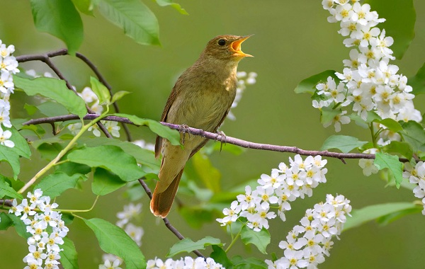solovej-ptica-obraz-zhizni-i-sreda-obitaniya-solovya-13.jpg