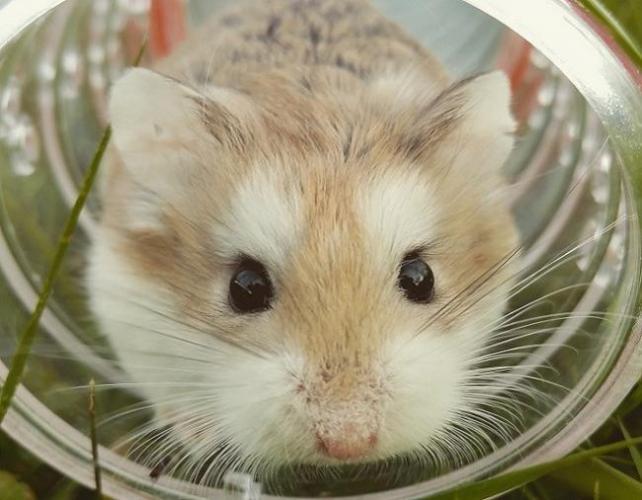hamstervtrube-1.jpg