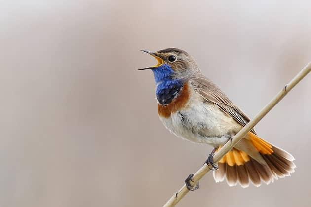 varakushka-ptica-foto.jpg