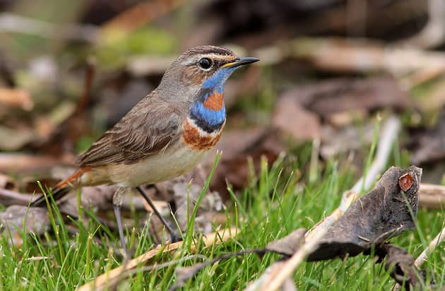 varakushka-ptica.jpg