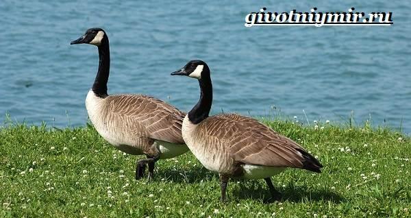 kazarka-ptica-obraz-zhizni-i-sreda-obitaniya-pticy-kazarki-2.jpg