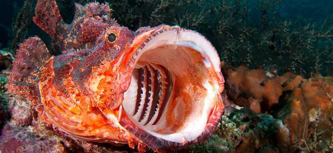nice-scorpionfish-photo.jpg
