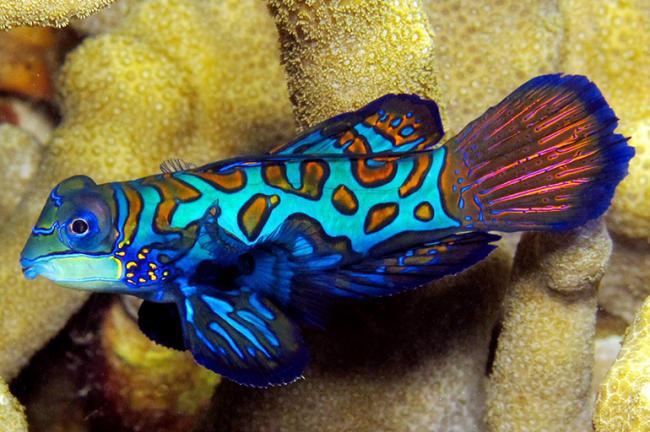 Mandarinfish-17.jpg