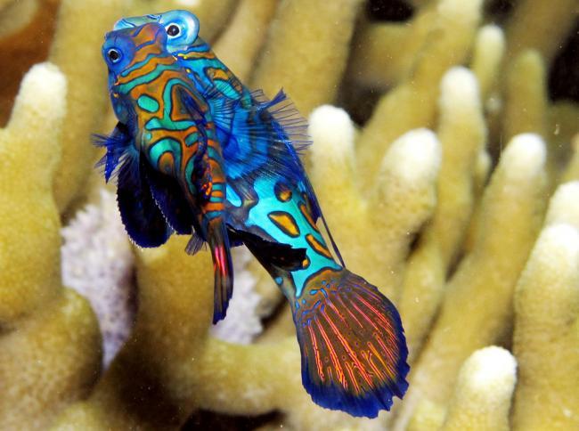 Mandarinfish-16.jpg