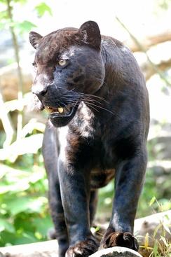 im244-319px-Jaguar-schwarzer-panther-zoologie.de-nk0005.JPG