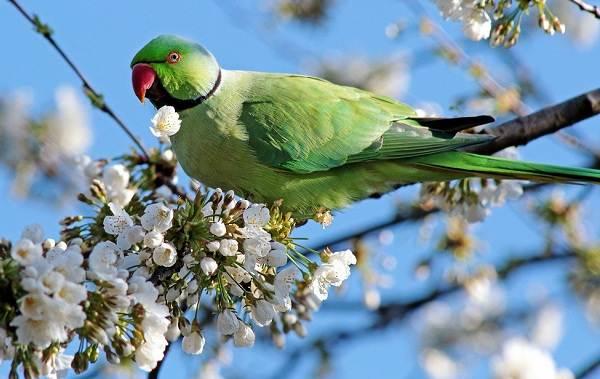 aleksandrijskij-popugaj-opisanie-osobennosti-vidy-cena-i-uxod-za-pticej-3.jpg