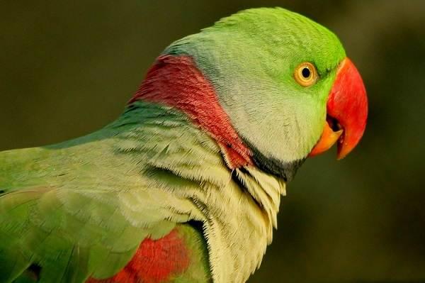 aleksandrijskij-popugaj-opisanie-osobennosti-vidy-cena-i-uxod-za-pticej-1.jpg