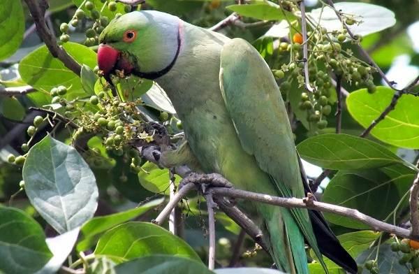 aleksandrijskij-popugaj-opisanie-osobennosti-vidy-cena-i-uxod-za-pticej-4.jpg