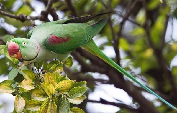 aleksandrijskij-popugaj-opisanie-osobennosti-vidy-cena-i-uxod-za-pticej-2.jpg