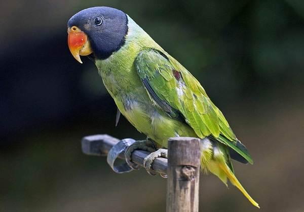 aleksandrijskij-popugaj-opisanie-osobennosti-vidy-cena-i-uxod-za-pticej-5.jpg