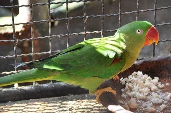 aleksandrijskij-popugaj-opisanie-osobennosti-vidy-cena-i-uxod-za-pticej-11.jpg