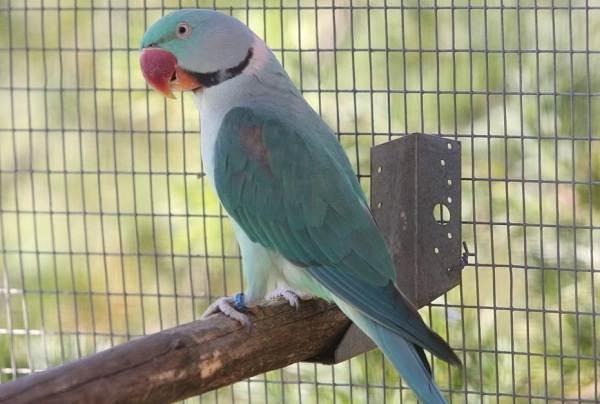 aleksandrijskij-popugaj-opisanie-osobennosti-vidy-cena-i-uxod-za-pticej-12.jpg