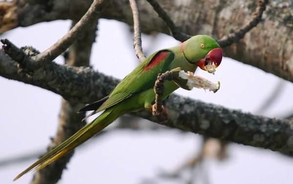 aleksandrijskij-popugaj-opisanie-osobennosti-vidy-cena-i-uxod-za-pticej-14.jpg